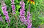 Растение Вика фото описание