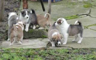 Клички для собак девочек лаек