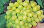 Сорт винограда кеша фото и описание