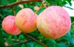 Яблоня уралец описание сорта фото отзывы