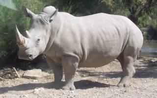 Доклад про белого носорога