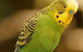 У волнистого попугая жидкий помет что делать – зеленый черный белый