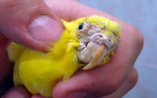 Трахейный клещ у волнистого попугая лечение