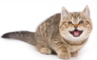 Что делать если кот постоянно орет, кошка кричит