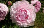 Пион сара бернар юник фото и описание – paeonia sarah bernhardt