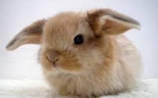 Сколько живут вислоухие кролики?