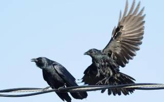 До скольки лет живут вороны