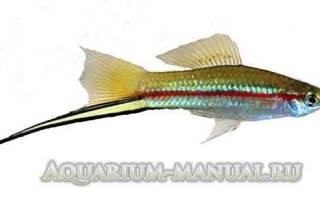 Сколько длится беременность у меченосцев: как понять что рыбка беременна?