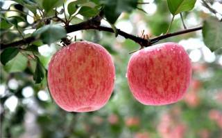 Сорт яблони фуджи фото и описание сорта