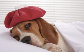 Правила вакцинации щенков, от каких болезней прививают собак?