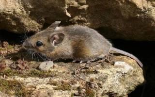Что ест мышь — что мыши едят?