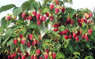 Сорт малины таруса фото и описание сорта