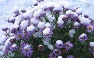 Хризантемы садовые многолетние подготовка к зиме