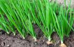 Как вырастить хороший лук из севка?