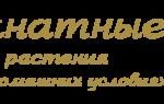 Пион фестива Максима фото и описание – festiva maxima