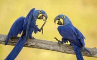 Попугаи название с фото и описанием, какие породы попугаев можно научить говорить?