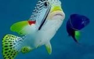 Почему у гуппи красные жабры – тетрахименоз аквариумных рыб
