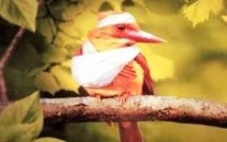 У птицы сломано крыло, что делать?