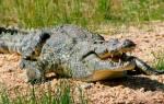 Детеныш крокодила как называется