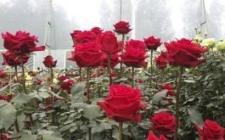 Роза Кения фото и описание