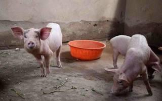 Размер свинарника на 1 свинью