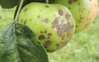 Листья на яблоне коричневеют и засыхают