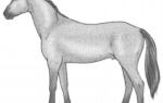 Рассмотрите фотографию лошади породы Орловская рысистая