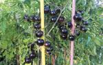 Томат черный гроздевой характеристика и описание сорта