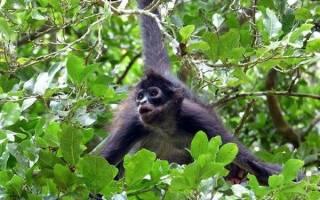 Макака без хвоста: порода небольших бесхвостых обезьян