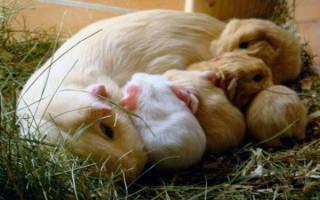 Разведение морских свинок в домашних условиях