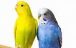 Когда у попугаев начинается брачный период?