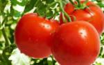 Томат санька отзывы фото урожайность характеристика