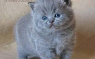 Как выбирать котенка британца?