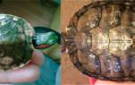 У красноухой черепахи отслаивается панцирь, что делать?