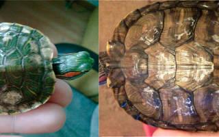 Отслаивается панцирь у красноухой черепахи