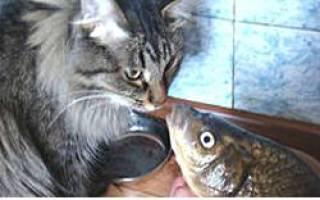 Сколько варить минтай для кошки: как часто можно кормить кота рыбой?