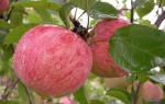 Яблоня коричневое полосатое описание сорта фото отзывы