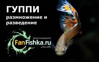 Как размножаются рыбки гуппи в аквариуме?