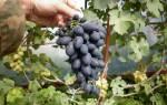 Сорт винограда монарх фото и описание