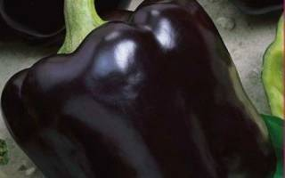Перец пурпурный колокол характеристика и описание сорта, биг папа