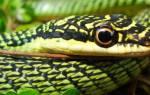 Змеи таиланда с фото и названиями