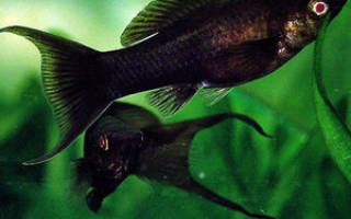 Рыбки аквариумные черные фото и название
