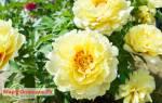 Желтый пион бартзелла посадка и уход – paeonia bartzella