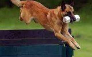 Как нарастить мышечную массу собаке?