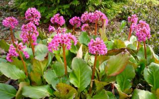 Цветы бадан посадка и уход фото